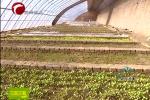 万寿菊种子占赤峰种子出口总量七成