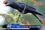 为过冬 乌鸦选择人流密集区避寒 猎捕乌鸦会受行政处罚