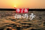 华子鱼洄游季