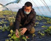 """【抗击疫情我在岗】防疫生产两不误 草莓大棚里有""""春天"""""""