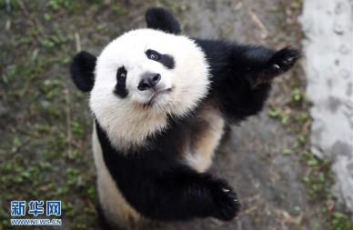 旅美大熊猫回国后首次亮相