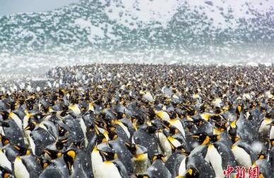 25万只帝企鹅齐聚南极海滩 场面震撼